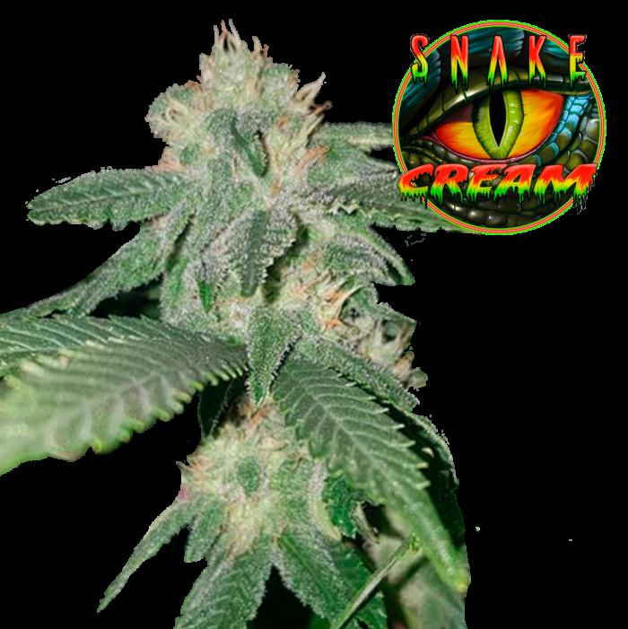 Semi Cannabis Femminizati