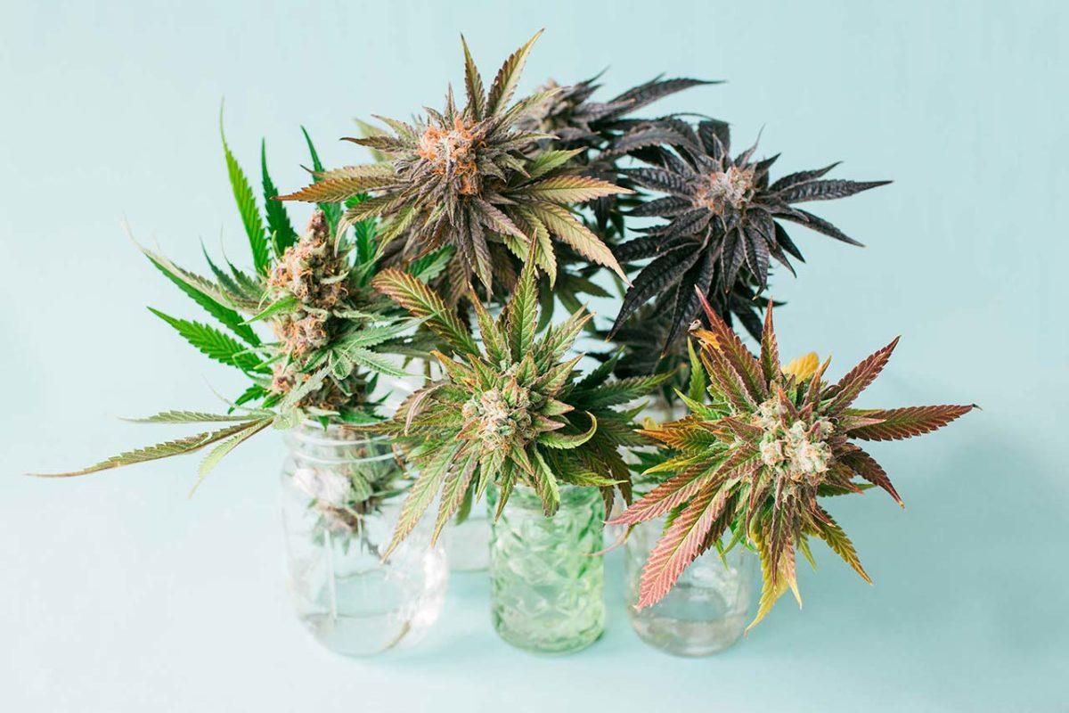 Fiori e CBD - Cannabis Light - Hemporio Emilia